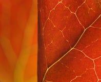 Rode bladerenmacro Stock Afbeelding