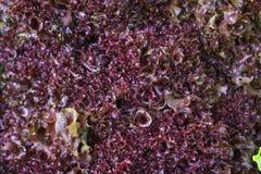 Rode bladsla bij de markt van de landbouwer Royalty-vrije Stock Foto's