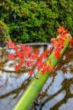 Rode bladtakken op een bamboebuis boven een water Stock Foto