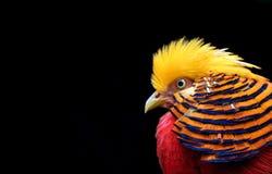 Rode blauwe en gele gekleurde vogel Stock Afbeeldingen