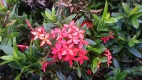 Rode bloeibloem stock foto