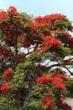 Rode bloeiende boom Royalty-vrije Stock Afbeelding