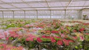 Rode bloeiende installatie in plastic verpakking Vele boeketten van bloemen klaar voor verkoop stock video