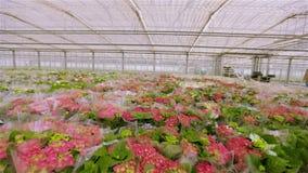 Rode bloeiende installatie in plastic verpakking Vele boeketten van bloemen klaar voor verkoop stock videobeelden