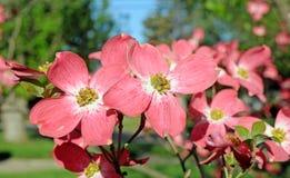 Rode bloeiende kornoelje Stock Fotografie