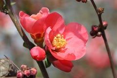 Rode bloeiende Kweepeer Royalty-vrije Stock Foto's