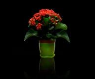 Rode bloeiende potteninstallatie Stock Fotografie