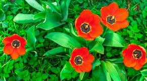 Rode Bloeiende Tulpen in de Lente Groen Gras Royalty-vrije Stock Afbeeldingen