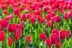 Rode bloeiende tulpen op het gebied van een Nederlands bollenkinderdagverblijf Royalty-vrije Stock Foto