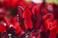 Rode bloeiende tulpen in tuin, de zomertijd Royalty-vrije Stock Fotografie