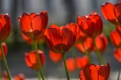 Rode bloeiende tulpen in tuin, de zomertijd Royalty-vrije Stock Afbeeldingen