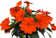 Rode bloem Stock Foto