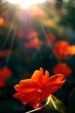 Rode bloem Royalty-vrije Stock Foto