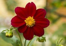 Rode bloem Royalty-vrije Stock Foto's