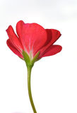 Rode bloem Stock Afbeeldingen