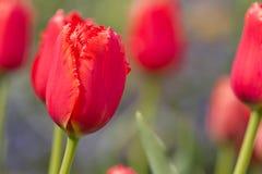 Rode bloem Royalty-vrije Stock Afbeeldingen