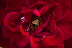 Rode bloem royalty-vrije stock afbeelding
