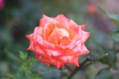 Rode bloem Stock Foto's