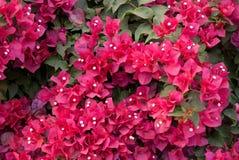 Rode bloem in de tuin Royalty-vrije Stock Afbeeldingen