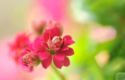 Rode bloem in de tuin Stock Afbeelding