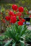 Rode bloem in de tuin, tulp Royalty-vrije Stock Foto's