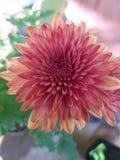 Rode bloem in een tuin stock foto