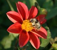Rode bloem en bij Royalty-vrije Stock Foto's