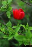 Rode bloem en groene bladeren Stock Fotografie