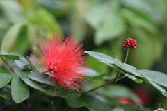 Rode bloem en Knop Stock Afbeeldingen
