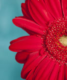 Rode bloem gerber stock afbeeldingen