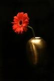 Rode bloem in gouden vaas Royalty-vrije Stock Foto's