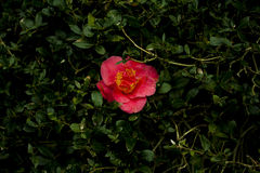 Rode bloem in groene struik Stock Foto