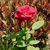 Rode bloem in het woestijnweer stock foto