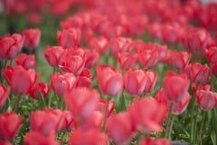 Rode bloem in Japan Royalty-vrije Stock Afbeelding