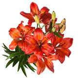 Rode Bloem Lilly Royalty-vrije Stock Afbeeldingen