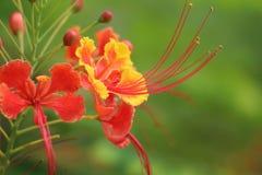 Rode bloem met geel Royalty-vrije Stock Foto's