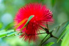 Rode bloem met groen blad Royalty-vrije Stock Afbeeldingen