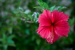 Rode bloem met lang stuifmeel Royalty-vrije Stock Foto's