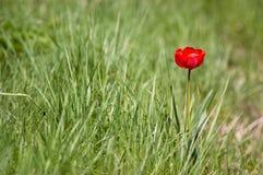 Rode bloem op groen gras Royalty-vrije Stock Afbeeldingen