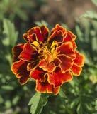 Rode bloem op groene achtergrond Royalty-vrije Stock Afbeeldingen