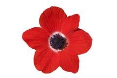 Rode bloem op wit Stock Foto