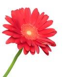 Rode bloem op witte achtergrond Stock Foto