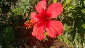 Rode Bloem in Tuin Stock Foto