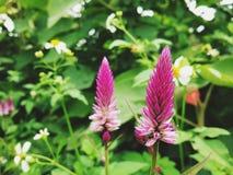 Rode Bloem in Tuin Royalty-vrije Stock Fotografie