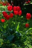 Rode bloem, tulp, Liliaceae Royalty-vrije Stock Foto