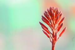 Rode bloem van een succulente installatie Royalty-vrije Stock Foto
