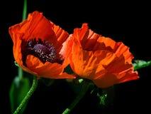 Rode bloem van papaver Royalty-vrije Stock Afbeeldingen