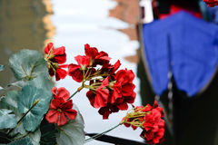Rode bloem in Venetië Stock Foto's