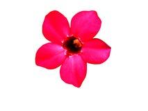 Rode bloembloei op geïsoleerd stock afbeeldingen