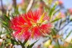 Rode bloembloesem, Banksia Royalty-vrije Stock Afbeeldingen